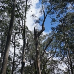 Tree hollows at Benandarah State Forest - 25 Nov 2018 by nickhopkins