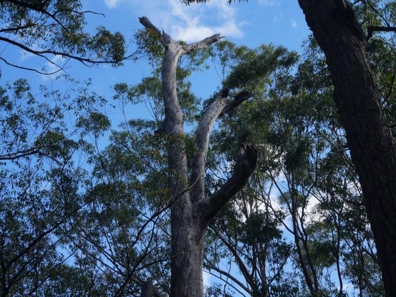 Tree hollows at Benandarah State Forest - 25 Nov 2018