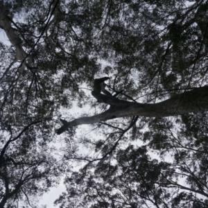 Tree hollows at Benandarah State Forest - 26 Nov 2018