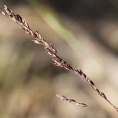 Poa sieberiana at Michelago, NSW - 1 Dec 2018