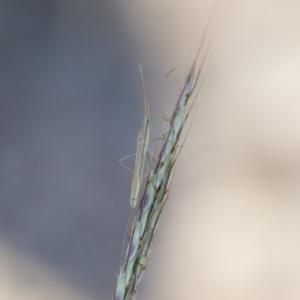 Mutusca brevicornis at Michelago, NSW - 1 Dec 2018