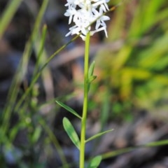 Stackhousia monogyna (Creamy Candles) at South Pacific Heathland Reserve - 16 Sep 2016 by NicholasdeJong