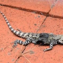 Amphibolurus muricatus (Jacky Lizard) at Wamboin, NSW - 22 Nov 2018 by Varanus