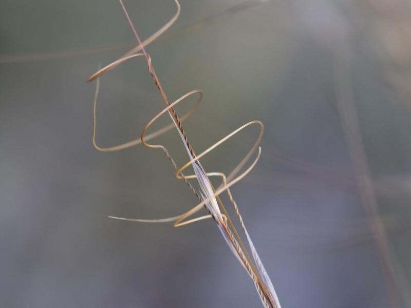 Austrostipa scabra subsp. falcata at Illilanga & Baroona - 1 Dec 2018