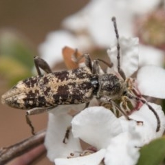 Pempsamacra dispersa (Longhorn beetle) at Tidbinbilla Nature Reserve - 25 Nov 2018 by SWishart