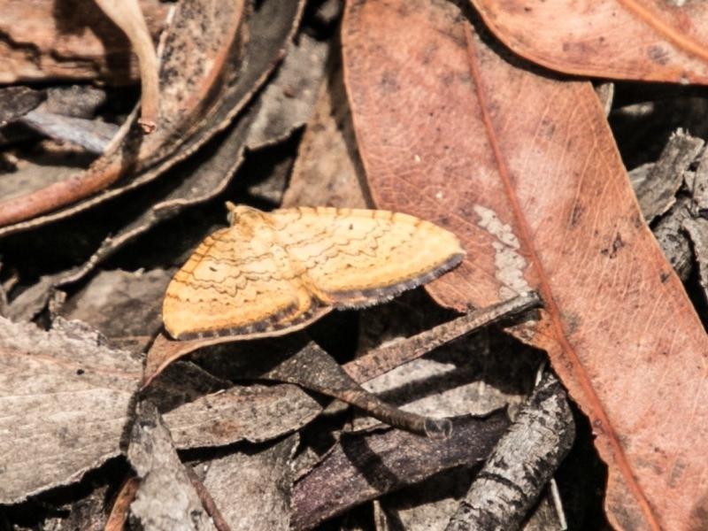 Chrysolarentia correlata at Tidbinbilla Nature Reserve - 25 Nov 2018