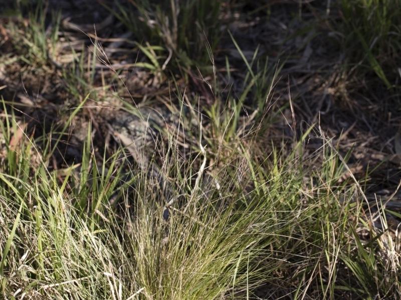Nassella trichotoma at Michelago, NSW - 1 Dec 2018