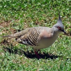 Ocyphaps lophotes (Crested Pigeon) at Jerrabomberra Wetlands - 2 Dec 2018 by RodDeb