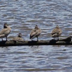 Stictonetta naevosa (Freckled Duck) at Jerrabomberra Wetlands - 2 Dec 2018 by RodDeb