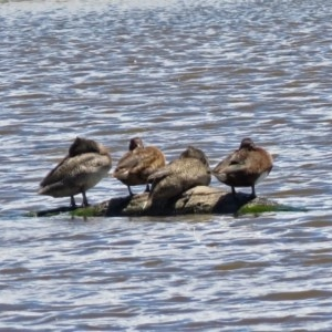 Stictonetta naevosa at Jerrabomberra Wetlands - 2 Dec 2018