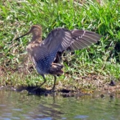 Gallinago hardwickii (Latham's Snipe) at Jerrabomberra Wetlands - 2 Dec 2018 by RodDeb