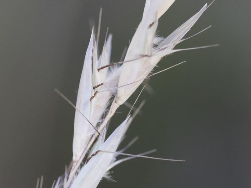 Rytidosperma sp. at Illilanga & Baroona - 1 Dec 2018