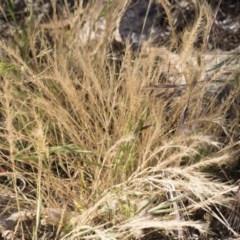 Vulpia bromoides (Squirrel-tail Fescue, Hair Grass) at Michelago, NSW - 1 Dec 2018 by Illilanga