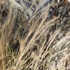 Vulpia bromoides at Illilanga & Baroona - 1 Dec 2018