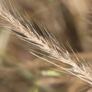 Vulpia bromoides at Michelago, NSW - 1 Dec 2018