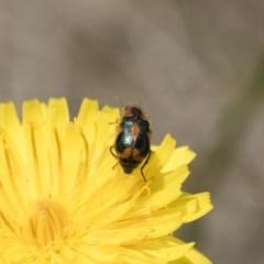 Dicranolaius villosus (Melyrid flower beetle) at Illilanga & Baroona - 24 Nov 2018 by Illilanga