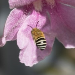 Amegilla sp. (genus) (Blue Banded Bee) at ANBG - 2 Dec 2018 by AlisonMilton