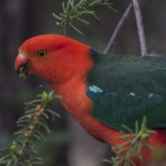Alisterus scapularis (Australian King-Parrot) at ANBG - 1 Dec 2018 by Alison Milton
