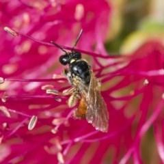 Exoneura sp. (genus) (A reed bee) at Illilanga & Baroona - 9 Nov 2018 by Illilanga