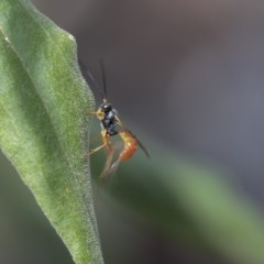 Ichneumonidae sp. (family) (Unidentified ichneumon wasp) at ANBG - 2 Dec 2018 by Alison Milton