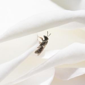 Lasioglossum (Chilalictus) sp. (genus & subgenus) at Illilanga & Baroona - 11 Nov 2018