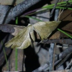 Unidentified Moth (TBC) at Benandarah State Forest - 25 Nov 2018 by nickhopkins