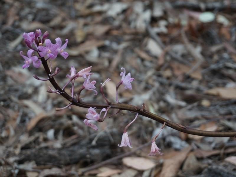 Dipodium punctatum at Benandarah State Forest - 25 Nov 2018