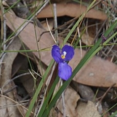 Patersonia sp. at Benandarah State Forest - 25 Nov 2018 by nickhopkins