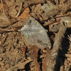 Taxeotis intextata (Looper Moth, Grey Taxeotis) at Greenway, ACT - 2 Dec 2018 by JohnBundock
