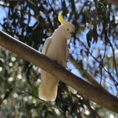 Cacatua galerita (Sulphur-crested Cockatoo) at Tidbinbilla Nature Reserve - 3 Dec 2018 by RodDeb