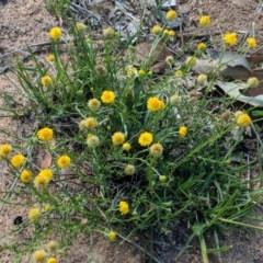 Calotis lappulacea (Yellow burr daisy) at Deakin, ACT - 2 Dec 2018 by JackyF