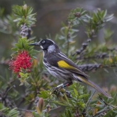 Phylidonyris novaehollandiae (New Holland Honeyeater) at ANBG - 5 Nov 2018 by Alison Milton