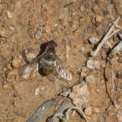 Villa sp. (genus) (Unidentified Villa bee fly) at Holt, ACT - 14 Nov 2018 by Alison Milton