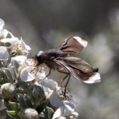 Comptosia stria (A bee fly) at ANBG - 19 Nov 2018 by Alison Milton