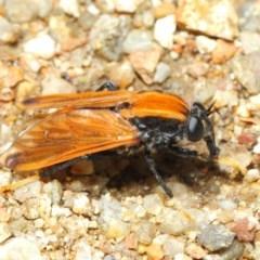 Pelecorhynchus fulvus (Orange cap-nosed fly) at ANBG - 29 Nov 2018 by TimL