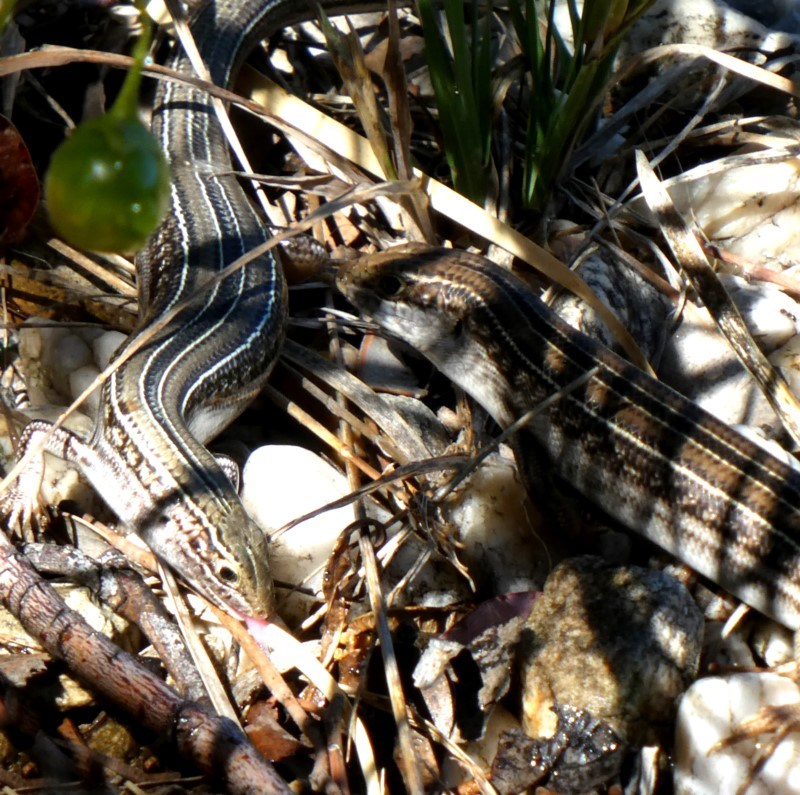 Ctenotus robustus at Wandiyali-Environa Conservation Area - 4 Dec 2018