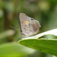 Paralucia aurifer (Bright Copper) at Lower Cotter Catchment - 4 Dec 2018 by Christine