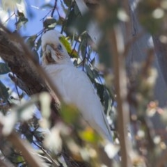 Cacatua sanguinea (Little Corella) at Higgins, ACT - 3 Dec 2018 by Alison Milton
