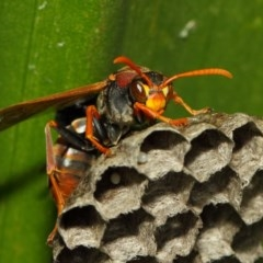 Polistes (Polistella) humilis (Common Paper Wasp) at ANBG - 29 Nov 2018 by TimL
