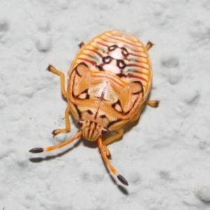 Acanthosomatidae (family) at ANBG - 30 Nov 2018