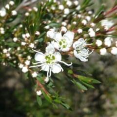 Kunzea ericoides (Burgan) at Black Mountain - 5 Dec 2018 by RWPurdie