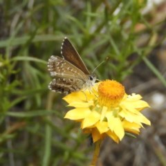 Neolucia agricola (Fringed Heath-blue) at Mount Taylor - 4 Dec 2018 by MatthewFrawley