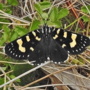 Phalaenoides tristifica at Bimberi Nature Reserve - 5 Dec 2018