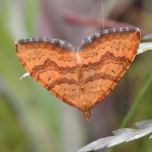 Chrysolarentia correlata at Namadgi National Park - 5 Dec 2018
