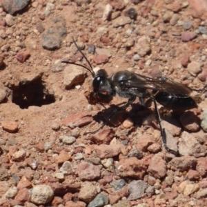 Sphex sp. (genus) at Jerrabomberra Wetlands - 6 Dec 2018