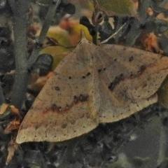 Taxeotis stereospila (Oval-spot Taxeotis) at Namadgi National Park - 5 Dec 2018 by JohnBundock