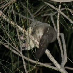 Petaurus breviceps (Sugar Glider) at Mount Ainslie - 6 Dec 2018 by WalterEgo