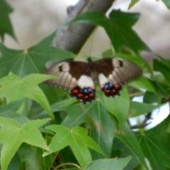 Papilio aegeus (Orchard Swallowtail) at Aranda, ACT - 5 Dec 2018 by KMcCue