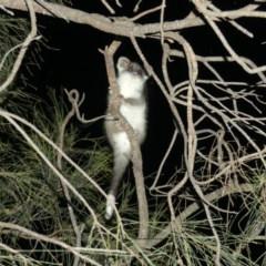 Pseudocheirus peregrinus (Common Ringtail Possum) at Mount Ainslie - 6 Dec 2018 by WalterEgo
