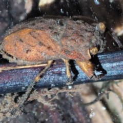 Nerthra sp. (genus) (Toad Bug) at Namadgi National Park - 29 Nov 2018 by KenT